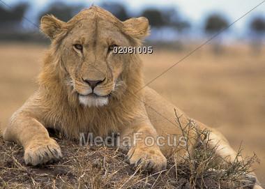 lion wild cat Stock Photo