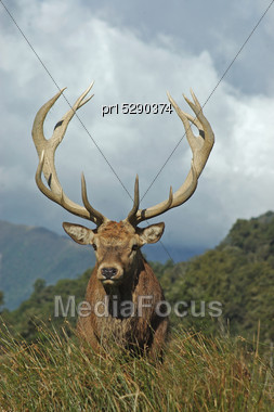 13 Point Red Deer Stag Of 288 SCI, West Coast, South Island, New Zealand Stock Photo