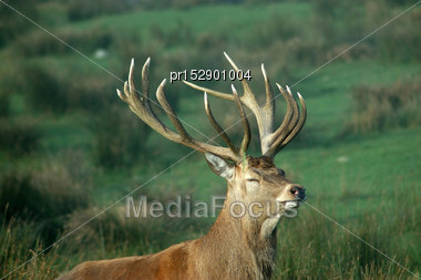 13 Point Red Deer Stag With Eyes Shut, West Coast, South Island, New Zealand Stock Photo