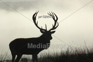 13 Point Red Deer Stag In Morning Fog, West Coast, South Island, New Zealand Stock Photo