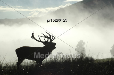 13 Point Red Deer Stag Roaring In The Morning Fog, West Coast, South Island, New Zealand Stock Photo