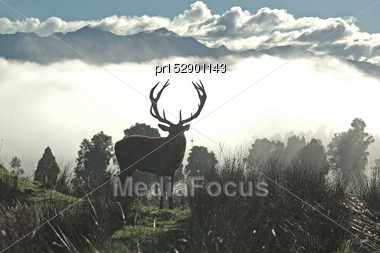 13 Point Red Deer Stag Silhouetted Against Morning Fog, West Coast, South Island, New Zealand Stock Photo