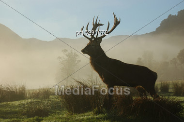 13 Point Red Deer Stag Surveys His Territory In Morning Fog, West Coast, South Island, New Zealand Stock Photo