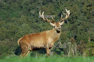 13 Point Red Deer Stag, West Coast, South Island, New Zealand Stock Photo