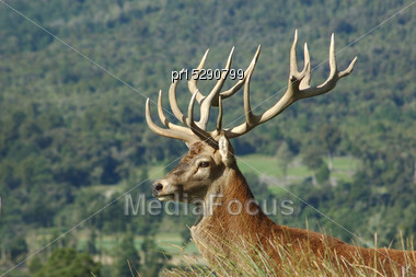 15 Point Red Deer Stag Of 326 SCI, West Coast, South Island, New Zealand Stock Photo