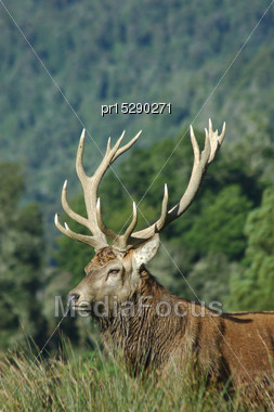 16 Point Red Deer Stag Of 316 SCI, West Coast, South Island, New Zealand Stock Photo