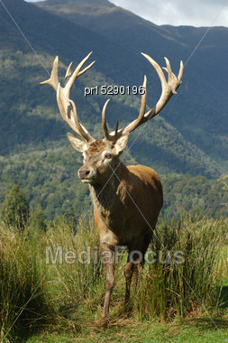16 Point Red Deer Stag Of 322 SCI, West Coast, South Island, New Zealand Stock Photo
