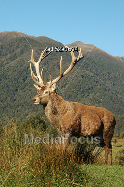16 Point Red Deer Stag, Cervus Elephus, With 322 SCI Antlers, West Coast, South Island, New Zealand Stock Photo