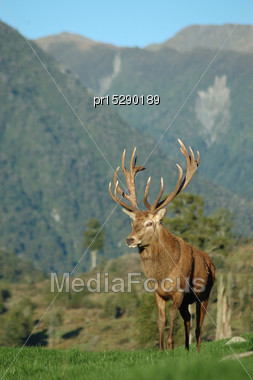 16 Point Red Deer Stag, West Coast, South Island, New Zealand Stock Photo