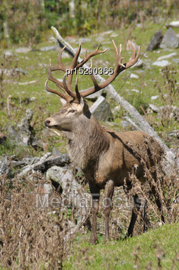 18-point Red Deer Stag, Cervus Elephus, West Coast, South Island, New Zealand Stock Photo