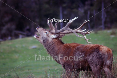18 Point Red Deer Stag Roaring During The Rut, West Coast, South Island, New Zealand Stock Photo