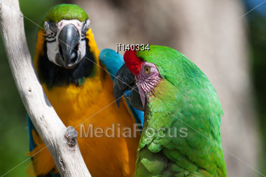 2 Colorful Macaw's Perched On A Tree Branch Stock Photo
