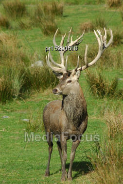 20 Point Red Deer Stag Of 369 SCI, West Coast, South Island, New Zealand Stock Photo