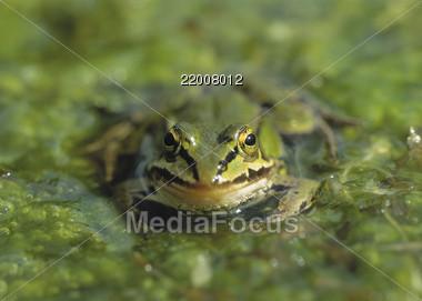 animals frog amphibian Stock Photo