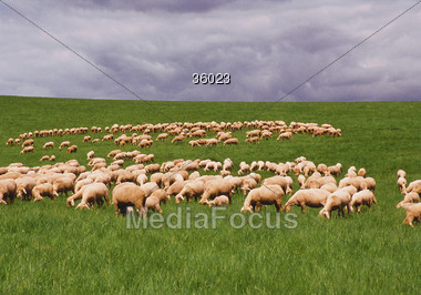 farm grazing sheep Stock Photo