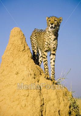 cheetah spots wild Stock Photo