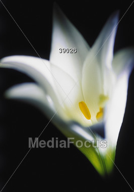Easter nature lily Stock Photo