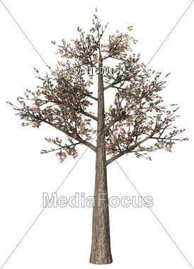 3D 3D Illustration Of A Blowing Cherry Tree Isolated On White Background Stock Photo