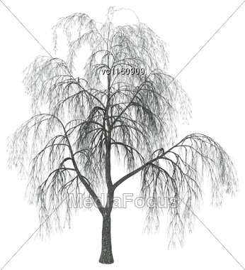 3D 3D Illustration Of A Weeping Willow Or Sallow Or Osier Isolated On White Background Stock Photo