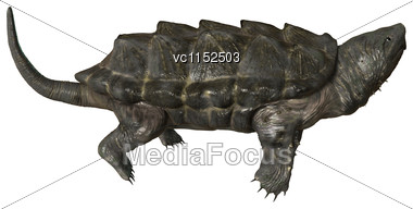 3D Digital Render Of An Alligator Snapping Turtle Isolated On White Background Stock Photo