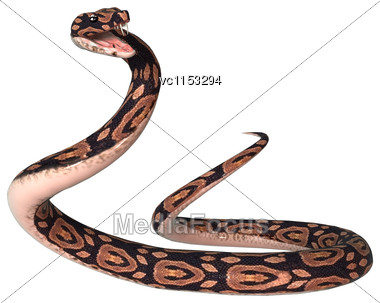 3D Digital Render Of A Ball Python Snake Isolated On White Background Stock Photo