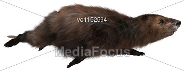 3D Digital Render Of A Beaver Swimming Isolated On White Background Stock Photo