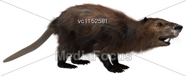 3D Digital Render Of A Beaver Isolated On White Background Stock Photo