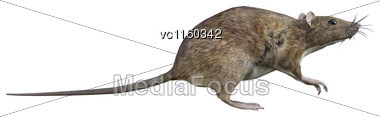 3D Digital Render Of A Brown Rat Isolated On White Background Stock Photo