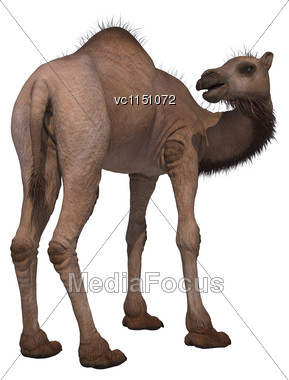 3D Digital Render Of A Camel Isolated On White Background Stock Photo
