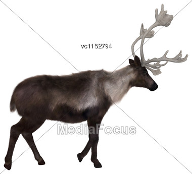 3D Digital Render Of A Caribou Walking Isolated On White Background Stock Photo
