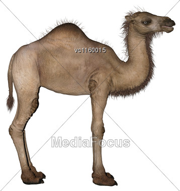 3D Digital Render Of A Dromedary Or An Arabian Camel Isolated On White Background Stock Photo