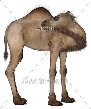 3D Digital Render Of A Dromedary Or Arabian Camel Isolated On White Background Stock Photo