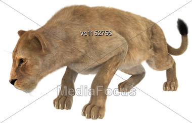 3D Digital Render Of A Female Lion Hunting Isolated On White Background Stock Photo