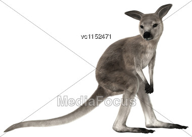 3D Digital Render Of A Grey Baby Kangaroo Isolated On White Background Stock Photo