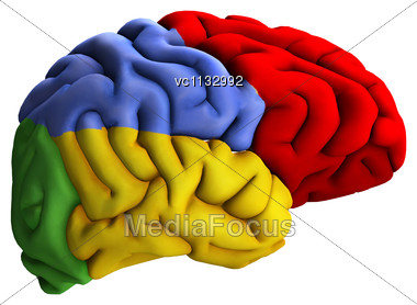 3D Digital Render Human Brain Diagram White Background
