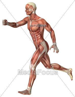 3D Digital Render Of A Male Anatomy Figure With Muscles Map Isolated On White Background Stock Photo