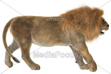 3D Digital Render Of A Male Lion Walking Isolated On White Background Stock Photo