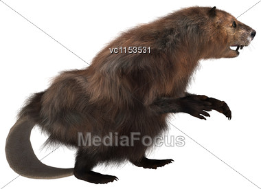 3D Digital Render Of A North American Beaver Isolated On White Background Stock Photo
