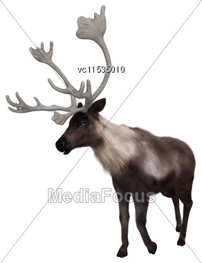 3D Digital Render Of A North American Caribou Standing Isolated On White Background Stock Photo