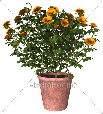 3D Digital Render Of A Orange Rose Bush Isolated On White Background Stock Photo