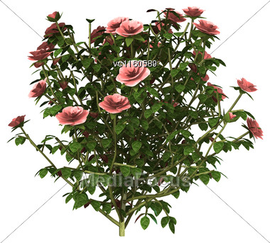 3D Digital Render Of A Pink Rose Bush Isolated On White Background Stock Photo
