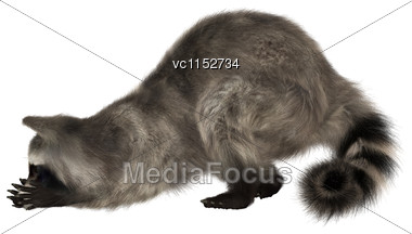 3D Digital Render Of A Raccoon Iisolated On White Background Stock Photo