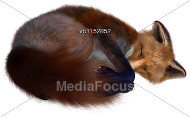 3D Digital Render Of A Red Fox Sleeping Isolated On White Background Stock Photo