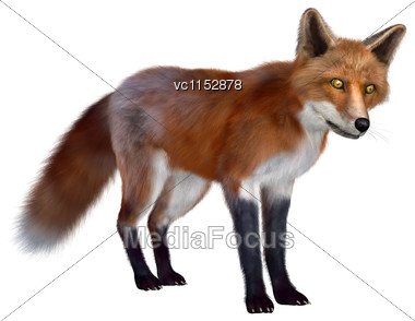 3D Digital Render Of A Red Fox Standing Isolated On White Background Stock Photo