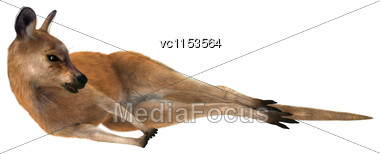 3D Digital Render Of A Red Kangaroo Resting Isolated On White Background Stock Photo