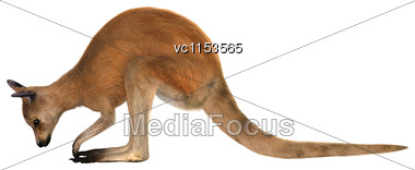 3D Digital Render Of A Red Kangaroo Isolated On White Background Stock Photo
