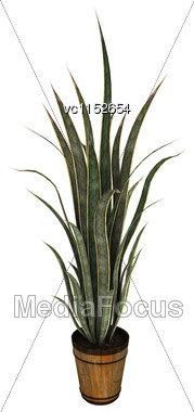 3D Digital Render Of A Sansevieria Isolated On White Background Stock Photo