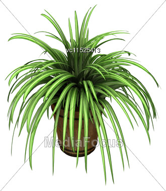 3D Digital Render Of A Spider Plant In A Flower Pot Isolated On White Background Stock Photo