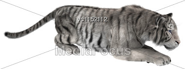 3D Digital Render Of A White Tiger Hunting Isolated On White Background Stock Photo