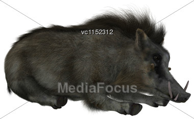 3D Digital Render Of A Wild Warthog Resting Isolated On White Background Stock Photo